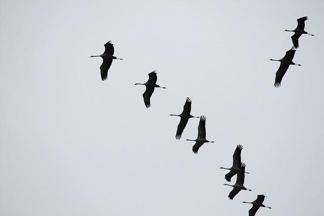 cranes-534924_640